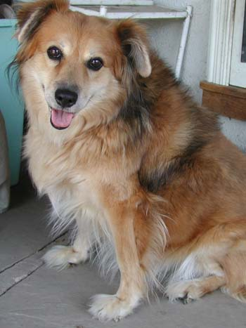 golden retriever mixed with chihuahua. Golden Retriever Sheltie Mix